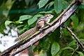 Indian palm squirrel in Sri Lanka 01.jpg