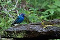 Indigo Bunting (male) & Kentucky Warbler (male) Fall Out 2 Sabine Woods TX 2018-04-09 14-18-02 (39699353740).jpg