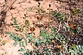 Indigofera sp.-0332 - Flickr - Ragnhild & Neil Crawford.jpg