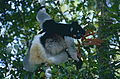 Indris (Indri indri) female with young (9644469680).jpg