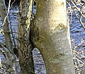 Inosculation between an ash a hawthorn. Holehouse Holm, Sorn, East Ayrshire.jpg