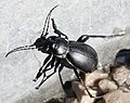 Insect in Tyrol 2.jpg