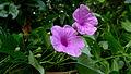 Ipomoea batatoides Choisy (15536778930).jpg