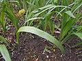 Iris halophila 2017-04-30 9162.jpg