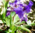 Iris pseudopumila.jpg