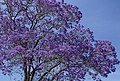 Jacaranda are mostly Purple-01 (22698486826).jpg