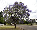 Jacaranda mimosifolia in flower along Michelmore Street in Turvey Park.jpg