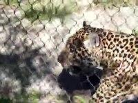 File:Jaguar - March 2010, Fort Worth Zoo, Part 2.webm