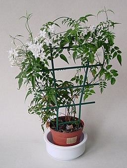 Jasminum polyanthum IP0204063