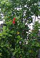 Jaswand (Hibiscus rosa-sinensis) plant.jpg