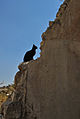 Jerusalem Wall cat - Jerusalem Archaelogical Park (6036470240).jpg
