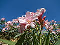 JfPink flowers in the Philippinesfvf 07.JPG