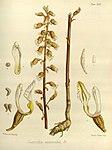 Joseph Dalton Hooker - Flora Antarctica - vol. 3 pt. 2 plate 126 (1860).jpg