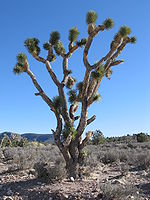 150px-Joshua_Tree_in_Arizona.jpg