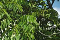 Juglans nigra (black walnut) 6 (49083463597).jpg