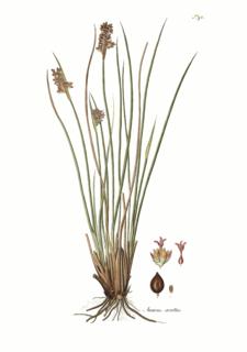 <i>Juncus acutus</i> Species of grass