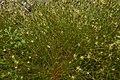 Juncus bufonius plant (13).jpg