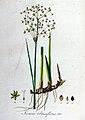 Juncus obtusiflorus — Flora Batava — Volume v8.jpg