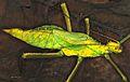 Jungle Nymph (Heteropteryx dilatata) (8756039675).jpg