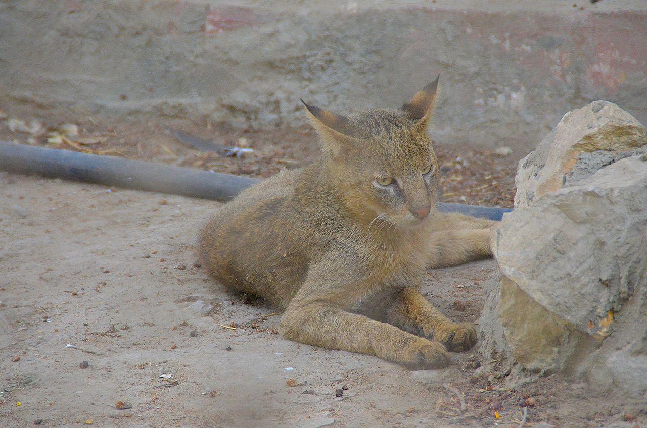 File Jungle Cat At Giza Zoo By Hatem Moushir 81 Jpg Wikimedia Commons
