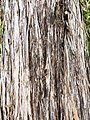 Juniper bark (33808852141).jpg