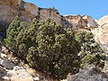 Juniperus osteosperma Serpents Trail.jpg