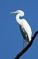 Juvenile great egret.jpg