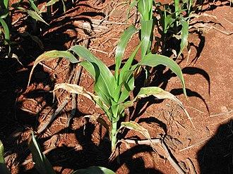 Potassium deficiency (plants) - Image: K deficient maize on Cedara 2 2003 01 13