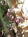 Kalanchoe laxiflora-004.JPG