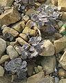 Kalanchoe rhombopilosa 03.jpg