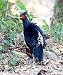 Kaleej Pheasant Lophura leucomelanos by Dr. Raju Kasambe IMG 1181 (4).jpg