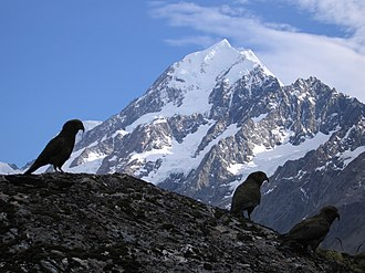New Zealand parrot - Kea are well adapted to life in the alpine zone, like these in the Southern Alps. The highest mountain in New Zealand, Aoraki/Mount Cook, is in the background.
