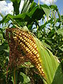 Kisoroszi, zrající kukuřice.JPG