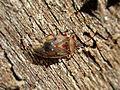 Kleidocerys resedae (Lygaeidae sp.), Arnhem, the Netherlands - 2.jpg