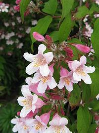 Kolkwitzia amabilis3