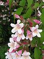 Kolkwitzia amabilis3.jpg