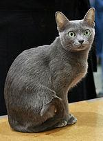 Korat in cat show-cropped.JPG