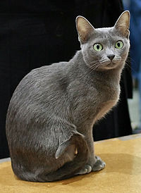 Korat in cat show-cropped.JPG