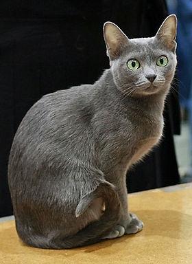 Asie noir chatte