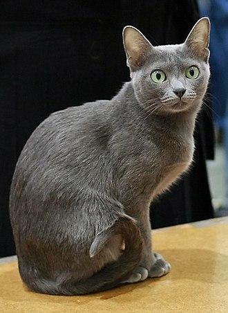 Korat - Image: Korat in cat show cropped