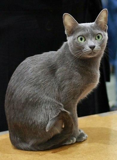 Korat in cat show-cropped