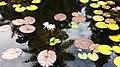 LILY POND (5-11-14) fairchild, tropical gardens, miami-dade co, fl (2) (14200496425).jpg