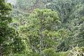 La Palma - Garafia - LP-109 - Pinus canariensis + Lichens (Mirador Barranco de Los Poleos) 01 ies.jpg