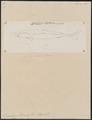 Laemargus borealis - 1700-1880 - Print - Iconographia Zoologica - Special Collections University of Amsterdam - UBA01 IZ14100157.tif