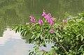 Lagerstroemia speciosa flowers 02.jpg