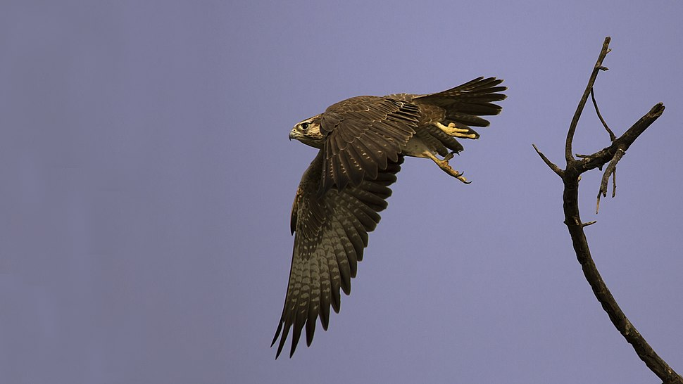 Laggar Falcon in Flight