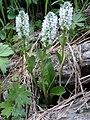 Lagotis uralensis 33529460.jpg