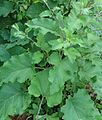 Lake Hopatcong State Park NJ plant with large leaves.jpg