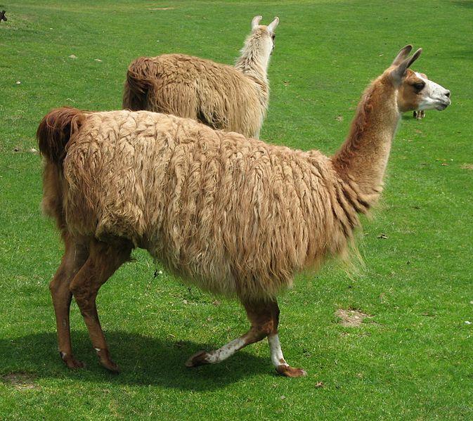 Ficheiro:Lama glama 01 by Line1.jpg