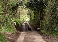 Lambs in the lane - geograph.org.uk - 1291255.jpg